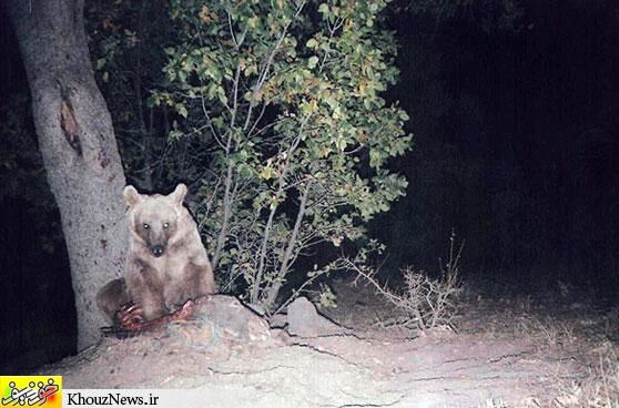 خرس قهوه ای زاگرس / khouznews.ir